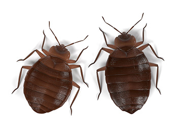 Top and Bottom of a Bed Bug