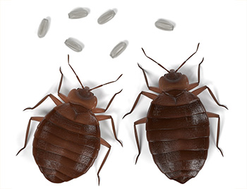 Bed Bugs and Bed Bug Eggs